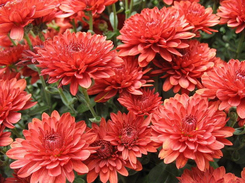 Пазл Собирать пазлы онлайн - Красные хризантемы
