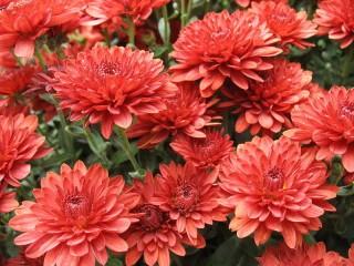 Собирать пазл Красные хризантемы  онлайн