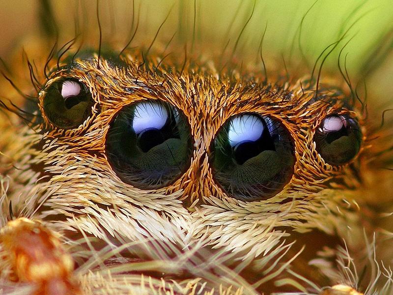 Пазл Собирать пазлы онлайн - Глаза паука