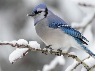 Собирать пазл Голубая птица онлайн