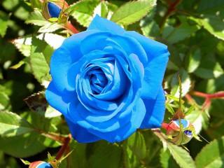 Собирать пазл Голубая роза онлайн