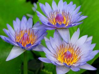 Собирать пазл Голубые лилии онлайн