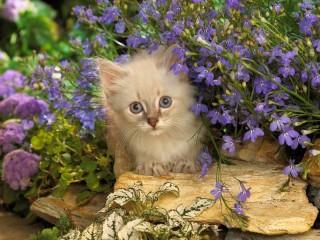 Собирать пазл Голубоглазый котенок онлайн