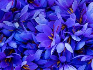 Собирать пазл Голубой шафран онлайн