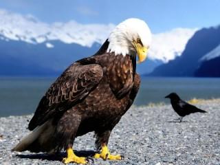 Собирать пазл Гордый орел онлайн