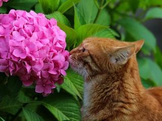 Собирать пазл Гортензия и кот онлайн