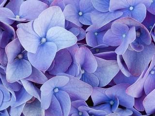 Собирать пазл Гортензия цветёт онлайн