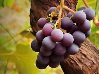 Собирать пазл Гроздь винограда онлайн