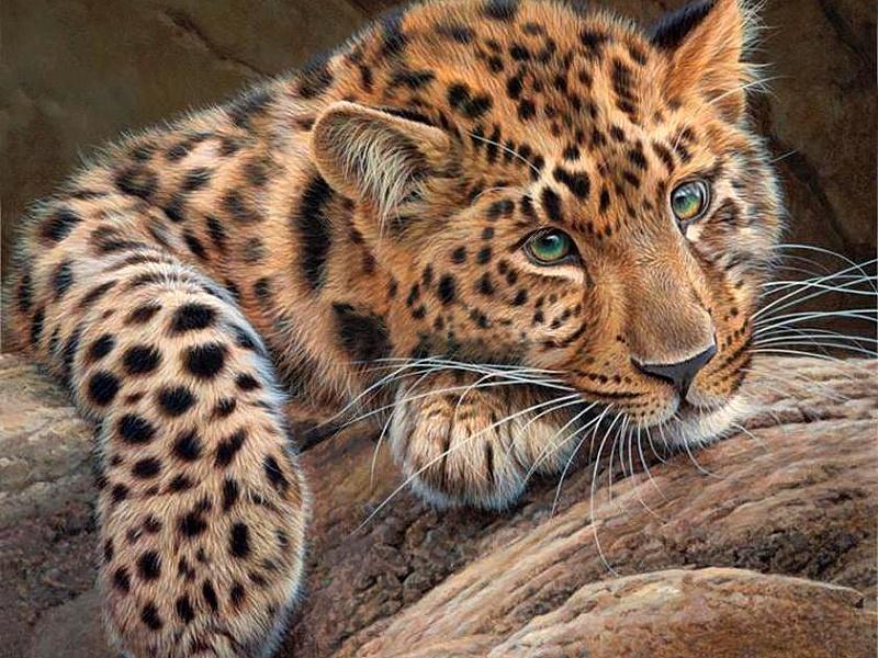 Пазл Собирать пазлы онлайн - Грустный леопард