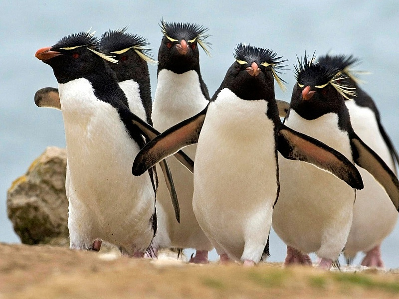 Пазл Собирать пазлы онлайн - Хохлатые пингвины