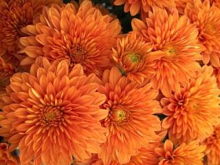 Собирать пазл Хризантемы онлайн