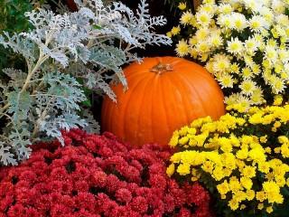 Собирать пазл Хризантемы и тыква онлайн