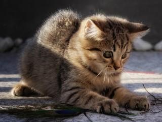 Собирать пазл Играющий котёнок онлайн