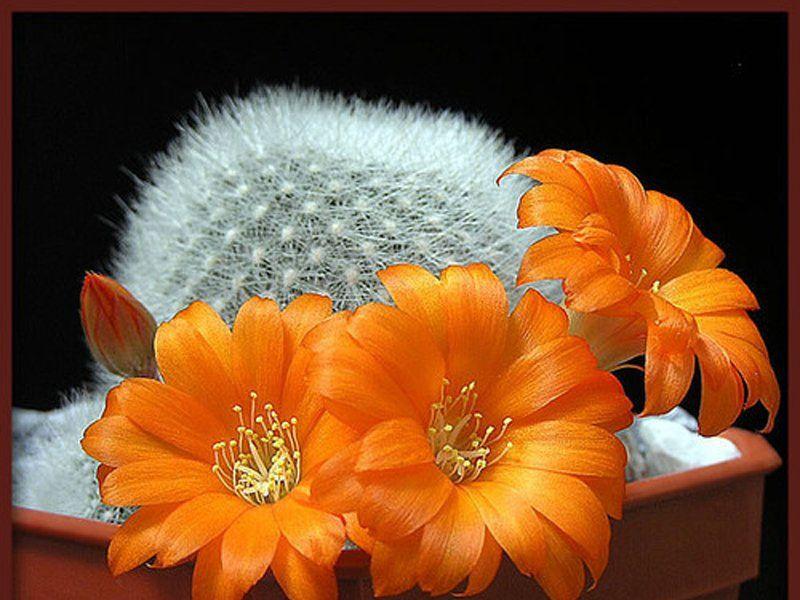 Пазл Собирать пазлы онлайн - Кактус цветет