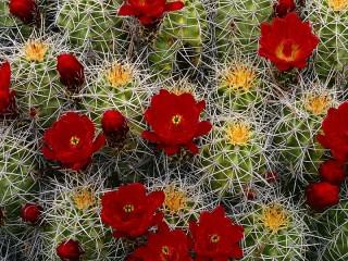Собирать пазл Кактусы в цвету онлайн