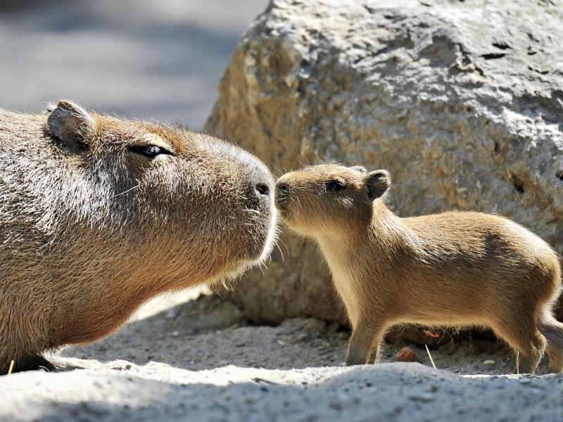 Пазл Собирать пазлы онлайн - Капибара с детёнышем