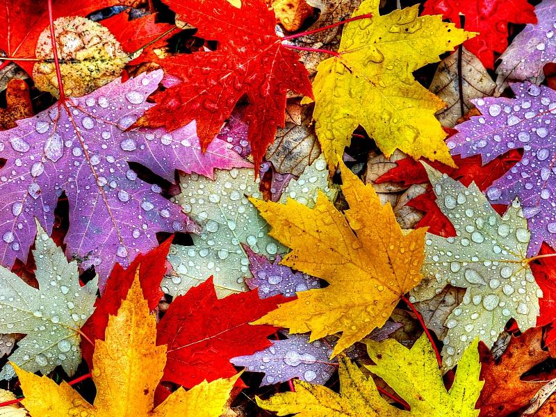 Пазл Собирать пазлы онлайн - Кленовые листья