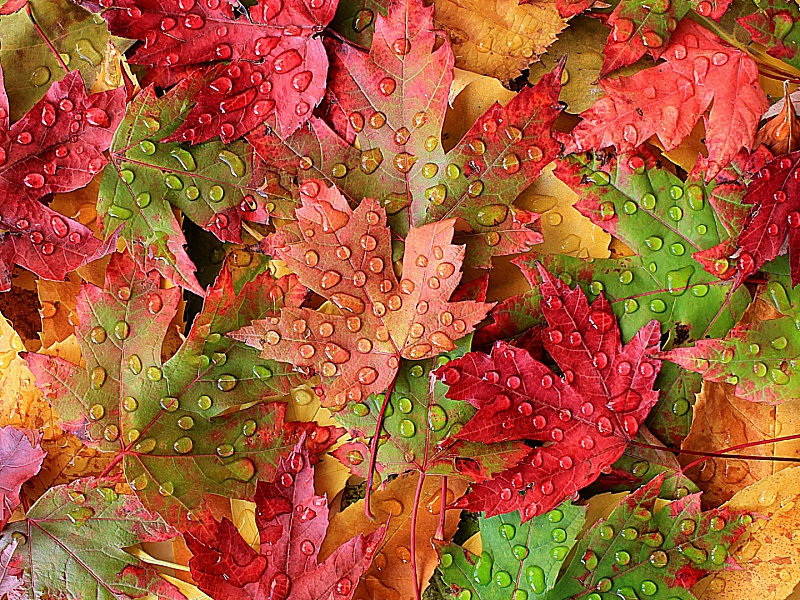 Пазл Собирать пазлы онлайн - Капли на кленовых листьях