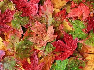 Собирать пазл Капли на кленовых листьях онлайн