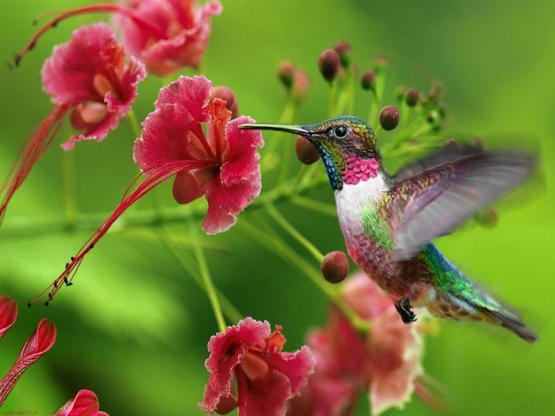 Пазл Собирать пазлы онлайн - Колибри у цветка