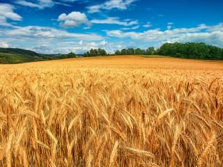Собирать пазл Колосья пшеницы онлайн