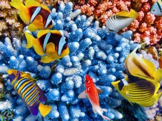 Собирать пазл Коралловые рыбки  онлайн