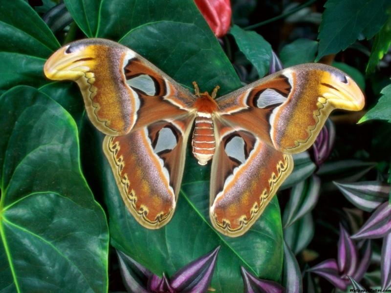 Пазл Собирать пазлы онлайн - Коричневая бабочка