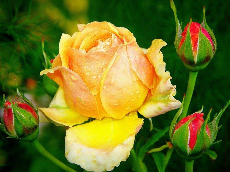 Пазл Собирать пазлы онлайн - Королева цветов