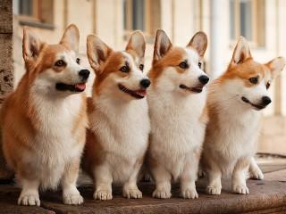 Собирать пазл Королевские собаки онлайн