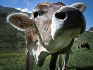 Собирать пазл Корова онлайн