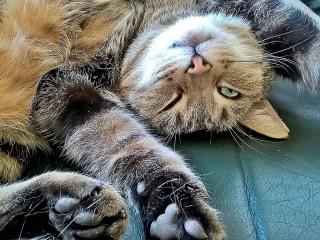 Собирать пазл Кошачья гибкость онлайн