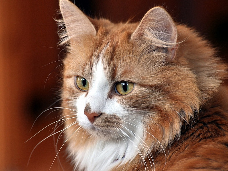Пазл Собирать пазлы онлайн - Кошка