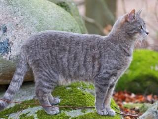 Собирать пазл Кошка на камне  онлайн