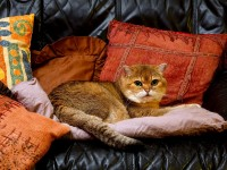 Собирать пазл Кошка на подушках онлайн