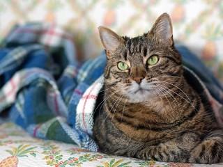 Собирать пазл Кошка под одеялом онлайн