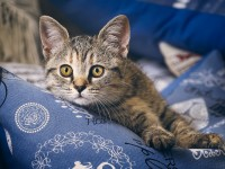 Собирать пазл Кот на подушке онлайн