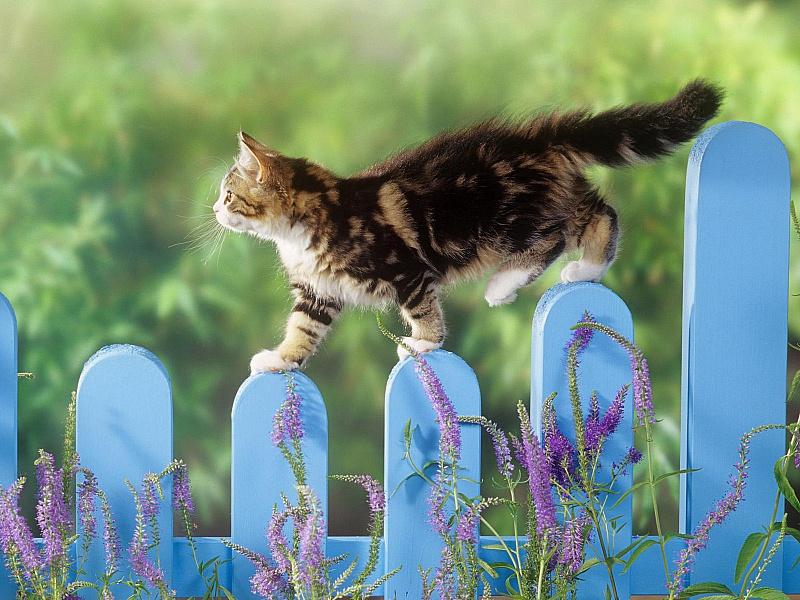 Пазл Собирать пазлы онлайн - Котенок на заборе