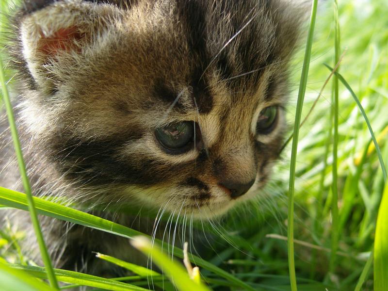 Пазл Собирать пазлы онлайн - Котенок в траве