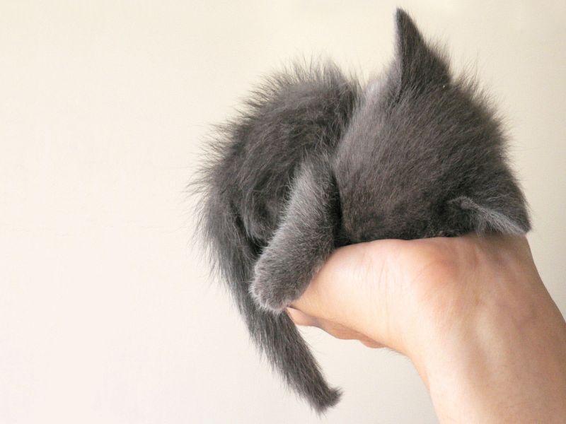 Пазл Собирать пазлы онлайн - Серый котенок