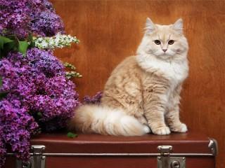 Собирать пазл Котяра на чемодане онлайн