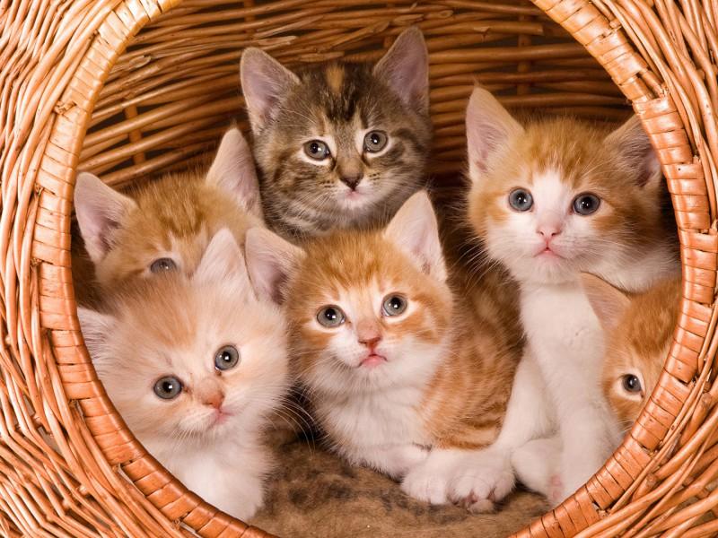 Пазл Собирать пазлы онлайн - Котята