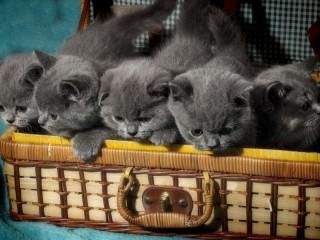 Собирать пазл Котята в чемодане  онлайн