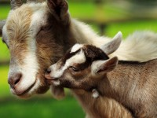 Собирать пазл Коза и козлёнок онлайн