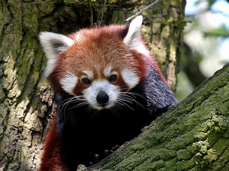 Пазл Собирать пазлы онлайн - Красная панда