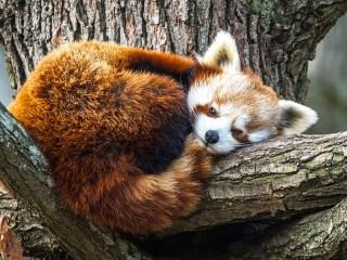 Собирать пазл Красная панда онлайн