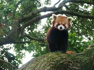 Собирать пазл Красненькая панда онлайн