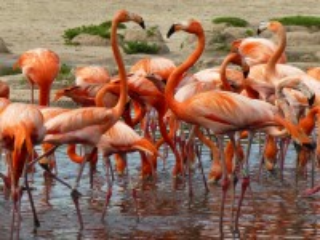 Собирать пазл Красные фламинго онлайн