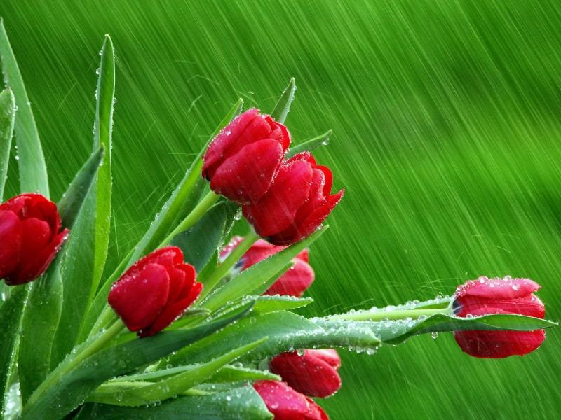 Пазл Собирать пазлы онлайн - Красные тюльпаны