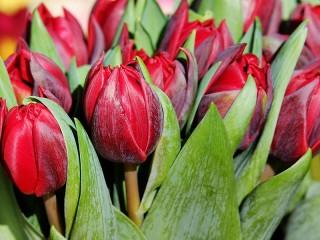 Собирать пазл Красные тюльпаны онлайн