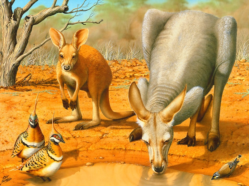 Пазл Собирать пазлы онлайн - Красный кенгуру